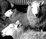 Expecting Ewes