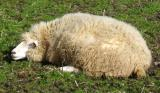 Do sheep count sheep to sleep?