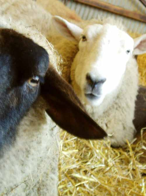 two veterans in the lambing shed