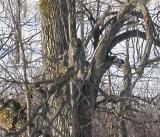 great-gray-owl-1.jpg
