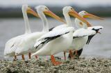 American White-Pelican