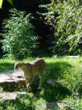 Cheetah patroling
