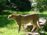 Cheetah on patrol