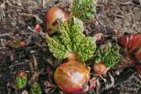 Rhubarb_CRW_1220b.jpg