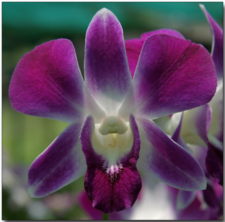 Orchid 39