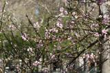 Plum Blossoms WSP