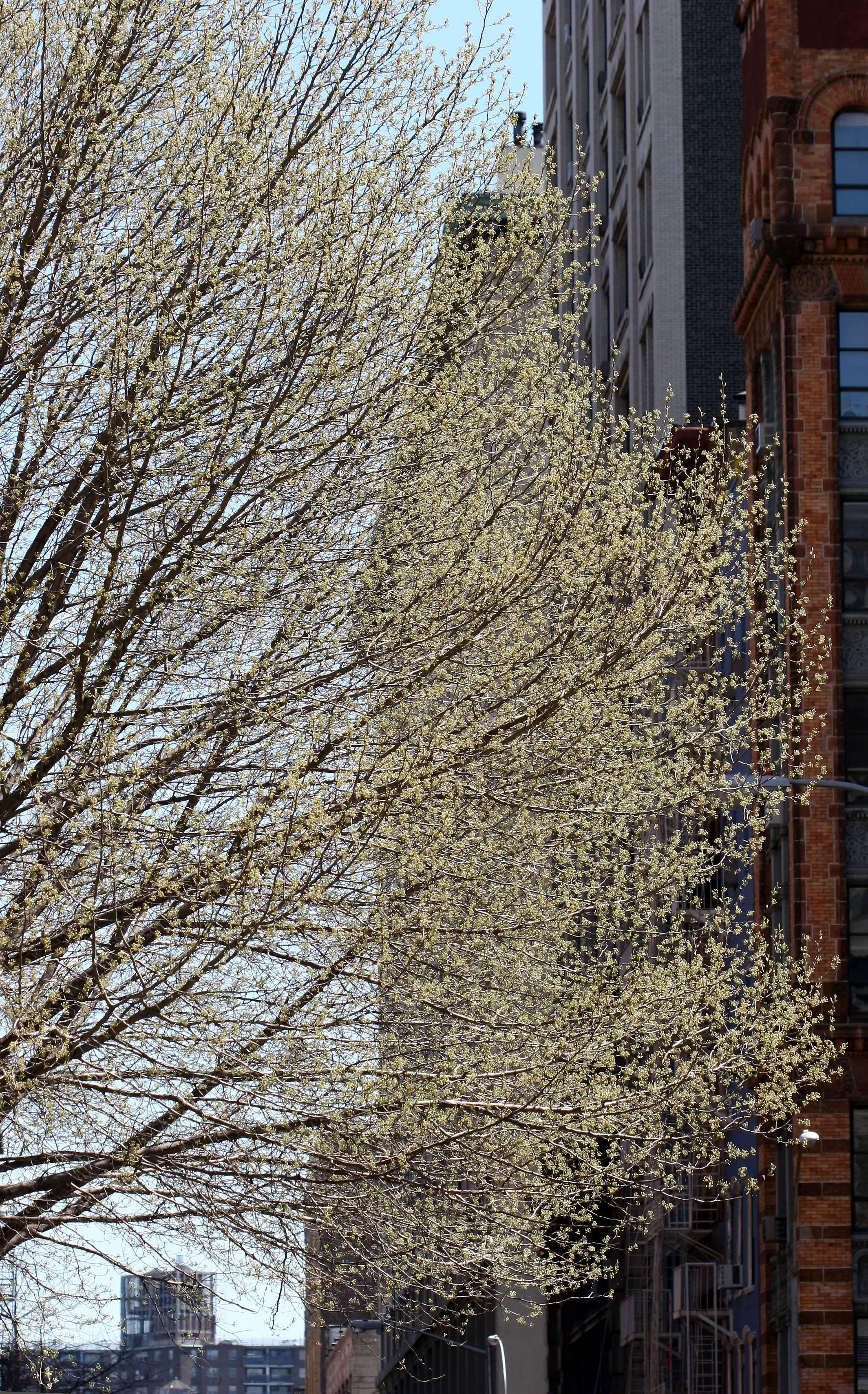 Pear Tree at  Greene Street