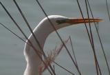 Egretta-alba.jpg
