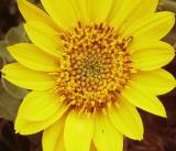 Arrow-leaved balsamroot