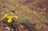 Arrow-leaved balsamroot landscape