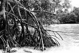 Mangove Roots