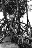 Mangrove Roots II