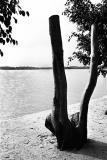 Tree Stump at Kampong Mamam Beach