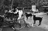 Man and Hungry Dogs