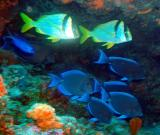blue tang surgeonfish and friends.jpg