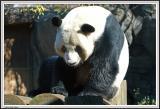 Panda - IMG_1086.jpg