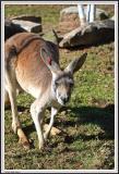 Kangaroo - IMG_1116.jpg
