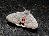 Sleepy Underwing aka Pink Underwing (Catocala concumbens)