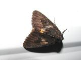 Wayward Nymph or Sweetfern Underwing (Catocala antinympha)