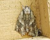 possible Sad Underwing (Catocala maestosa)