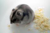 hamster by Janosch Simon