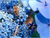 Hydrangea - Blue wave