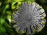 Taraxacum grey radiation