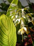 Green Leaves  and White Orchids