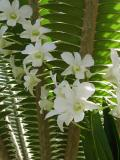 White Orchids on Fern