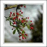 Tiny red flowers, Chalice Well Garden, Glastonbury