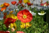Icelandic Poppies Collection