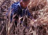 Gathering Wheat