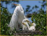 Great Egret & Chicks