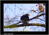 bkackbird.jpg