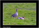 greylag geese.jpg