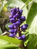 Blue Ginger, (Dichorisandra thyrsiflora)