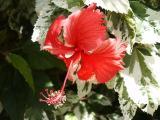 Snowflake Hibiscus