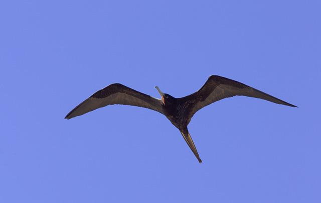 Magnificent Frigatebird, male