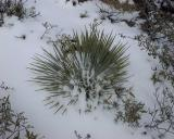 Yucca, Mount Gleason