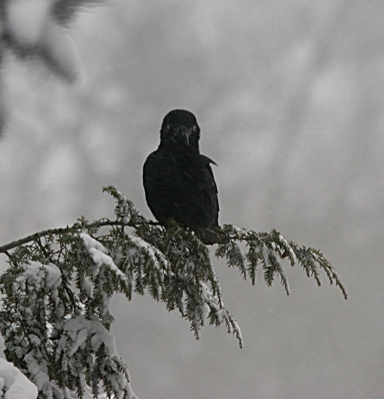 Crow in the storm