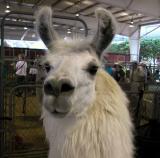 Llama - LA County Fair 2002