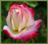 Double Delight rosebud