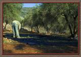 Last olives of the season