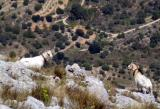 2005 Costa Blanca bernia goats