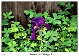 First Iris Blossom