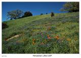 Hillside of Poppies and Lupine at Horseshoe Lake OSP