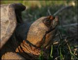 Snapping Turtle 4252.jpg