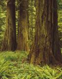 Cedar forest,  Vancouver Island