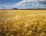 A field of ripening barley gently murmurs in the late August afternoon sun.