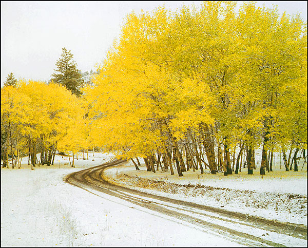 Aspens, first snowfall, near Cache Creek B.C.